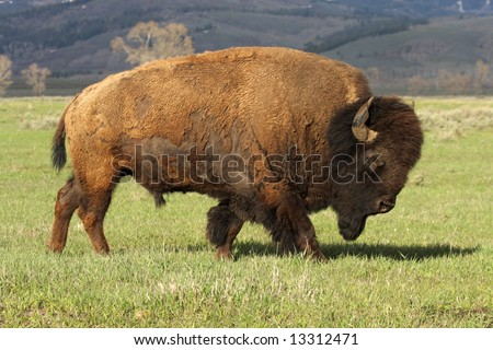 A wild, charging, America Bison - a huge mature bull. Grand Teton NP. Note dirt on horns.