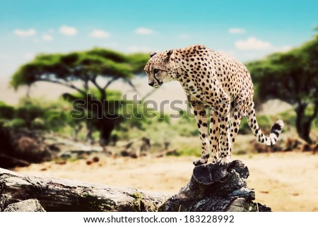 A wild cheetah about to attack, hunt, sitting on a dead tree. Safari in Serengeti, Tanzania, Africa.
