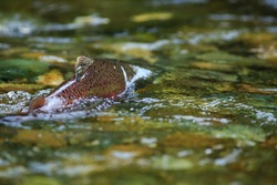A Wild Chinook Salmon Spawning In The Cedar River