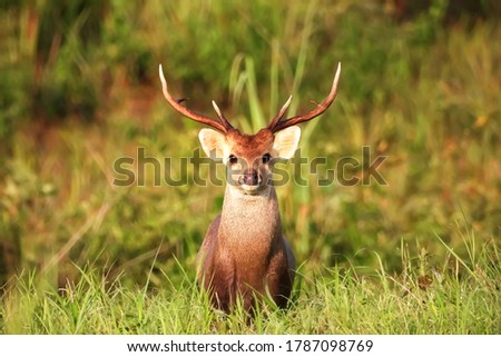 Photo of  A Wild Dear look at camera, wild dear in Khao Yai National Park, Thailand