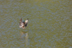 A wild duck lands on the pond in the water.