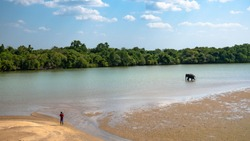 A Wild Elephant is Swimming in the River in the Jungles Near Trincomalee, Sri Lanka