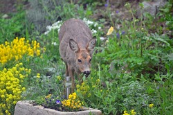 A wild female roe deer eating flowers in a garden