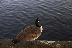 A wild goose standing alone on a riverbank or a shore of a lake. One brown bird on dark navy blue water background. Birds wildlife in Europe. Stock photography.