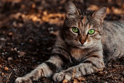 A wild gray striped cat lies on the ground stretching its paws outdoors and looks with beautiful green eyes. Feline pet pet relax on the street