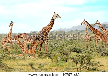A WILD group of Masai Giraffe or Maasai Giraffe, also known as the Kilimanjaro Giraffe ( Giraffa camelopardalis tippelskirchi), in the Masai Mara of Kenya, Africa.