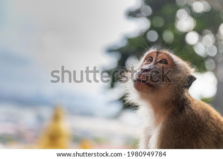 A wild habituated Long-tailed macaque is searching for food while resting near the entrance of Batu caves in Malaysia. The Lord Murugan statue can be seen in the background. Сток-фото ©