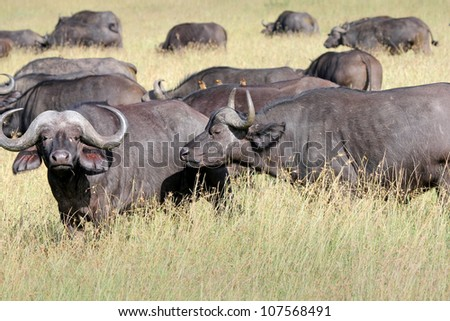 A WILD herd of African Buffalo in the Masai Mara, Kenya, Africa