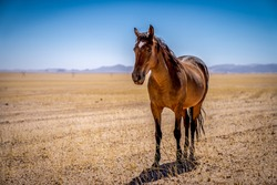 A Wild horse of Garub, near the namib desert in namibia