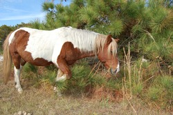 A wild horse roaming Assateague Island, in Worcester County, Maryland.