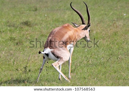 A Wild Impala (Aepyceros melampus) Stops to Defecate in the Masai Mara, Kenya, Africa.