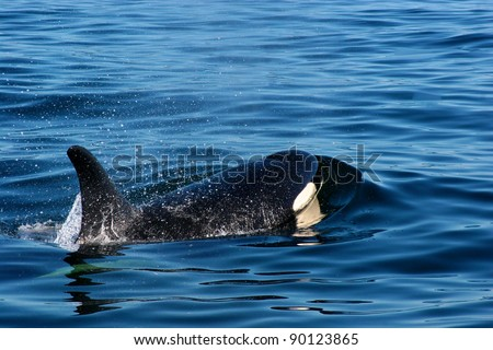 A wild killer whales breaching in the ocean outside of Vancouver Island British Columbia Canada