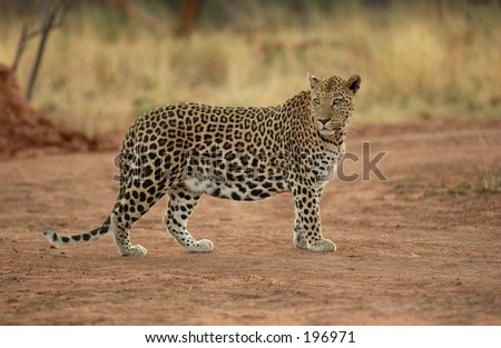 A wild leopard, Namibia, Africa