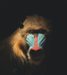 A wild mandrill mammal is isolated on a black background for a endangered or species concept about animals.