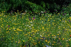 A wild meadow at the city park. Yellow flowers with single red and white flowers dominate. Lots of greenery, trees in the park in the background. Beautiful summer image.