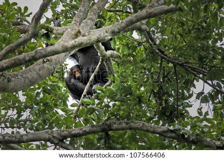 A WILD Mother and Baby Endangered Chimpanzee (Pan troglodytes), also known as the Robust Chimpanzee, in Uganda, Africa.