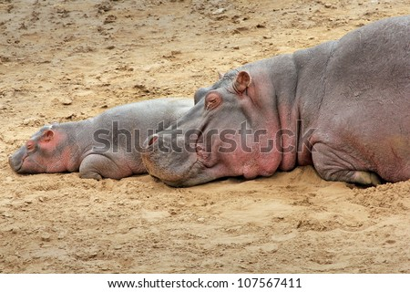 A WILD Mother and Baby Hippopotamus Sleep on the Bank of the Mara River in the Masai Mara, Kenya, Africa