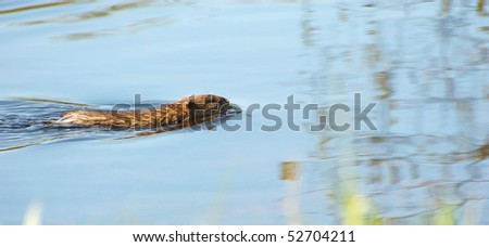 A wild muskrat swimming in a swamp with room for your text.