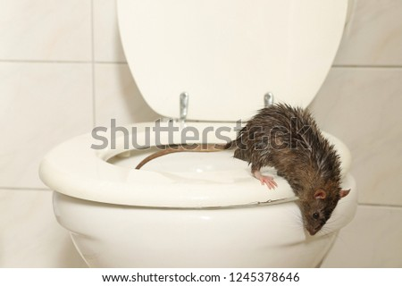 a wild norway rat is coming out of the toilet and looking into the restroom, scene by day