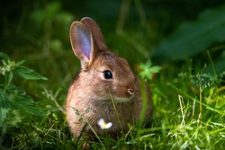 A wild orange Rabbit/bunny with big ears in a fresh green forest (Spring baby rabbit or Easter rabbit)