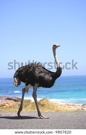 A wild ostrich by the ocean in South Africa