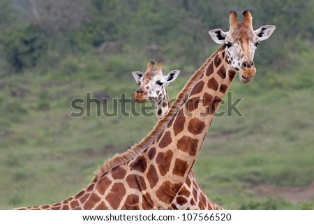 A WILD pair of extremely ENDANGERED Rothschild Giraffe (Giraffa camelopardalis rothschildi) at Lake Nakuru, Kenya, Africa. There are only a few hundred of these giraffes left in the wild!