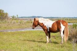 A wild pony (Equus caballus) in salt marsh wetlands at Assateague Island National Seashore, Maryland