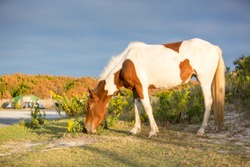 A wild pony grazing among the campsites at Assateague Island National Seashore, Maryland