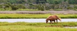 A Wild pony, horse, of Assateague Island, Maryland, USA. There is one horse grazing in a field. The depth of field is fairly shallow with the horse being in sharp focus.