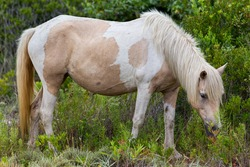 A Wild pony, horse, of Assateague Island, Maryland, USA. These animals are also known as Assateague Horse or Chincoteague Ponies.