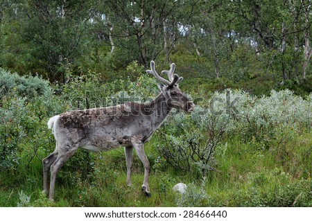 A wild reindeer in the forest of lapland