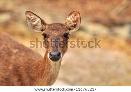 A wild Roe Deer doe in the late evening looking into camera.