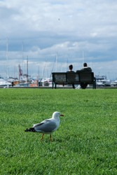A wild seagull waiting and looking for food behind a couple sitting intimately together on a chair by the pier in Australia.