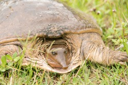 A wild soft shell turtle. These reptiles feature a unique look with their pig like snouts.