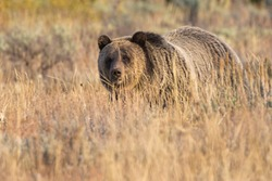 A wild sub-adult grizzly bear grazing in a field at sunset in Grand Teton National Park (Wyoming).