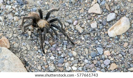 A wild Texas brown tarantula (Aphonopelma hentzi). Spotted at Big Bend National Park in Texas.