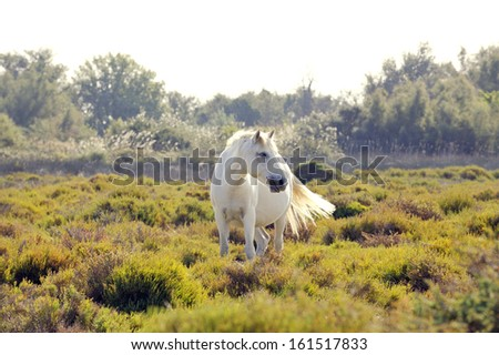 A wild white horse of the Camargue, France, grazing in the wetlands on a summer afternoon.