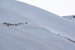 A wild wolf chases a herd of  mountain sheep in winter. A wolf chases a group of argali down a snowy mountainside. Hunting, rare, animals, nature, Asia