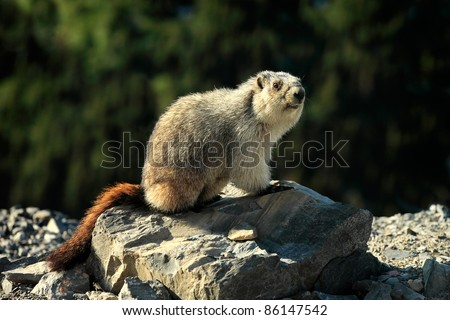 A wild yellow-bellied marmot, otherwise known as a rock chuck, sits alert on a rocky ledge in the middle of the open wilderness.