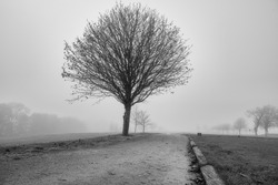 A willow tree in black and white with a misty background. Picture from Scania county, Sweden