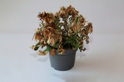 A wilted flower in a pot on a gray background. The indoor flower withered in the pot. Near.