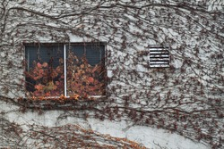A windowed wall of a house with vines in autumn