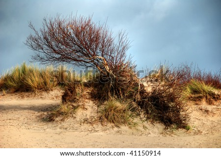 A windswept tree, growing in the sand dunes.