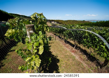 A winery on Auckland's Waiheke island, featuring grapes on the vine protected by netting