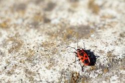 A wingless blacksmith beetle wandering on stones.