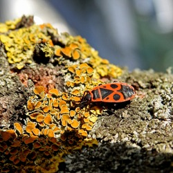 a wingless insect named the blacksmith two-lobster living at the base of tree trunks called linden in Podlasie in Poland
