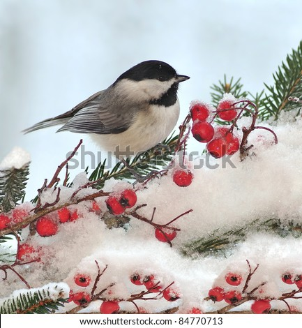 A winter Black- capped Chickadee (Poecile atricapillus) at festive spruce and hawthorn branches.