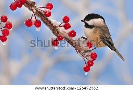 A winter Black- capped Chickadee (Poecile atricapillus) on an icy branch laden with bright red berries.