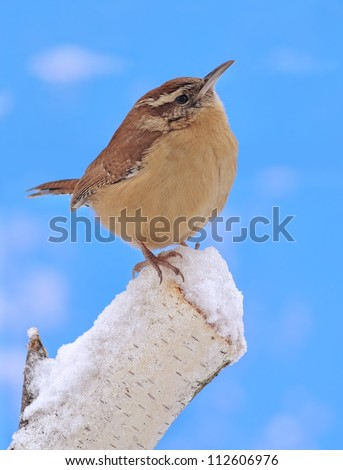 A winter Carolina Wren (Thryothorus ludovicianus) on a snowy birch stump with blue sky in the background.