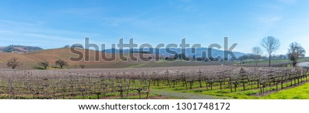A winter pano of vineyards in the Sonoma Valley. The vineyard spreads across the picture with hills rise up behind with a blue sky and wispy clouds. Trees are on the outer right edge of this vineyard.